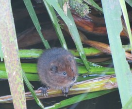 Young water vole on the Colne in 2013
